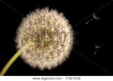Dandelion seed head close up with seeds blowing in wind