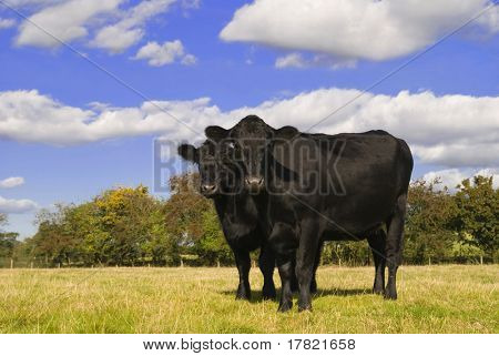 Two black cows in field facing camera
