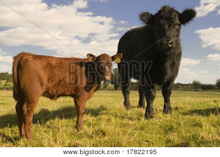 Two inquisitive juvenile cows in a springtime field