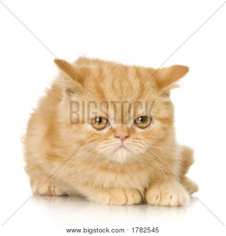 Ginger Persian Cat Kitten