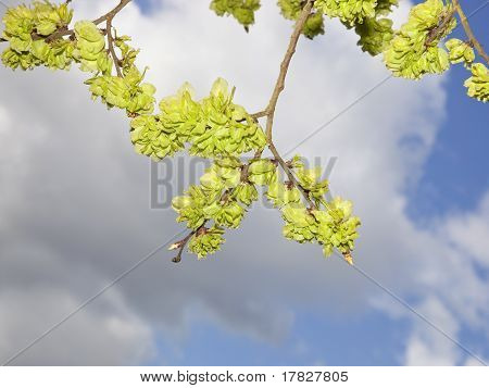 Fresh Green Elm Shoots