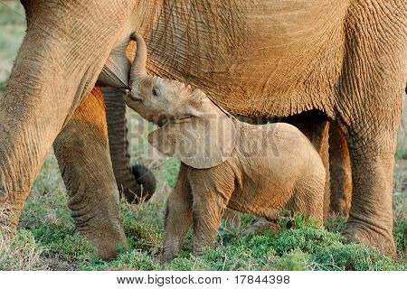Suckling Baby African Elephant (Loxodanta africana)