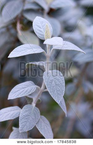 Grey Barleria (barleria Albostellata)