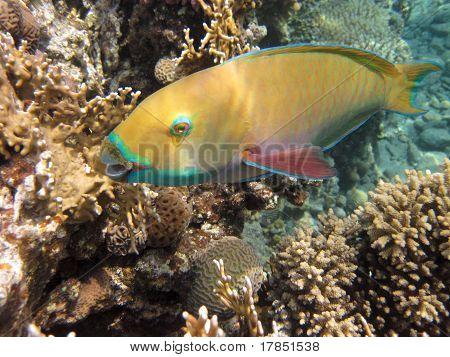Parrotfishe