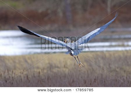 Heron Flies With Fish In Beak.