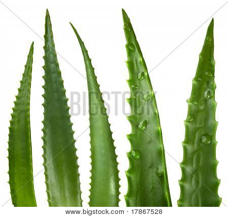 Aloe vera leaves isolated on white