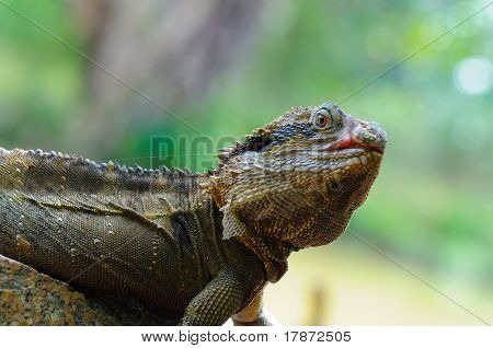 Eastern Water Dragon Lizard (Physignathus lesueurii, P. l. lesueurii) on a rock, Close up against bl