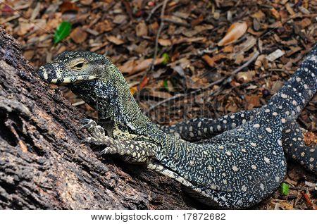 Lace Monitor (Lace Goanna) (Varanus varius) Lizard,  Full Body, Crawling Up a Tree Trunk