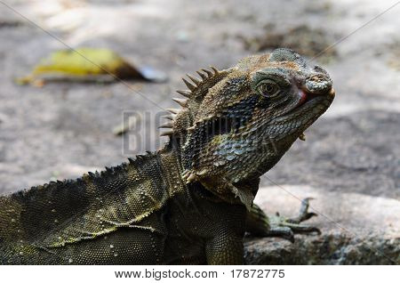 Eastern Water Dragon Lizard (Physignathus lesueurii, P. l. lesueurii) on a rock, Close up  on a Rock