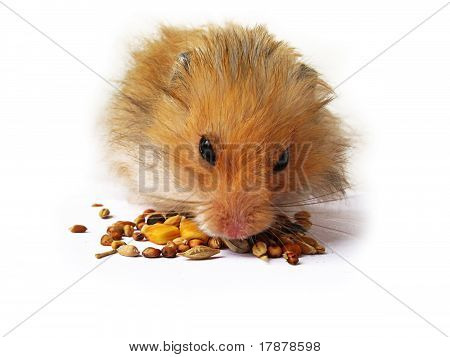 Hamster Close Up
