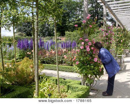 Delphiniums At Alnwick Garden