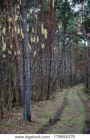 Hanging hazel catkins by a dirt road through a forest