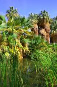 picture of tallgrass  - Native California Fan Palm Tree oasis taken in Thousand Palms - JPG