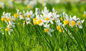 image of lent  - Narcissus pseudonarcissus commonly known as wild daffodil or Lent lily in spring - JPG