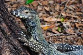 picture of goanna  - Head of Lace Monitor  - JPG