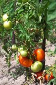 picture of tomato plant  - Tomatoe Plant in the garden with ripe tomatoes - JPG