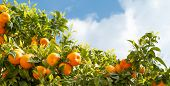 Ripe oranges at orange tree poster