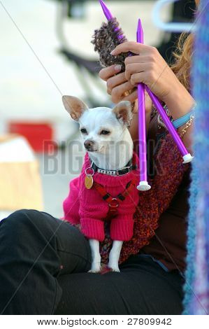 Chihuahua wearing a sweater sitting on a knitting womans lap