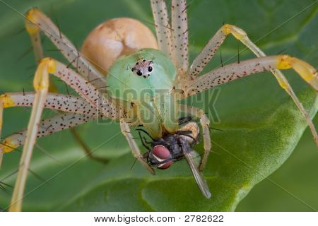Lynx Spider With Fly