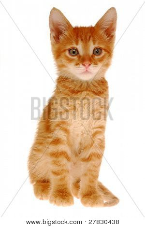 Sitting kitten on a white background