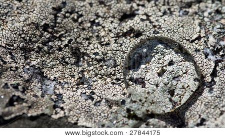 Water Drop Over Lichen