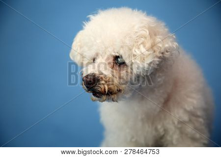 poster of OLD Dog Photo Shoot. Beautiful 14 Year Old Blind and Deaf Bichon - Poodle with a blue seamless backg
