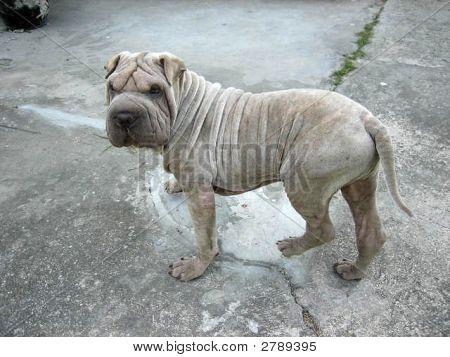 Sharpei Puppy2