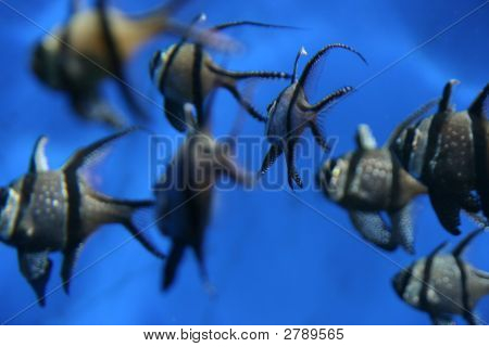 Shoal Of Banggai Cardinal Fish