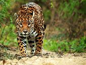 stock photo of ocelot  - Jaguar - JPG
