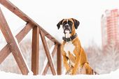Brown Pedigreed Dog Sitting In The Snow On A Bridge. Boxer. Beautiful Hunter Dog poster
