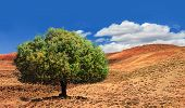 Lonely Green Argan Tree In The Middle Of The Desolating Valley In Morocco. Beautiful Northern Africa poster