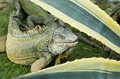 stock photo of bolivar  - iguana roaming free range park bolivar guayaquil ecuador - JPG