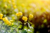 Globe-flower Or Trollius Europaeus In The Field With Sunshine . A Round Yellow And Bright Flowers In poster