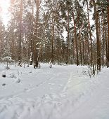 Track In The Snow. Winter Forest Road Without People. Traces Of The Wheels And Tires Of An Suv Throu poster