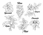 Tea Herbs Botany Plants Engraving Set. Sketch Isolated Hand Drawn Contour Illustration Of Stinning D poster