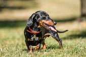 A Front View Of A Dachshund Standing In Short Grass With Its Mouth Open And Tongue Out. Head Turned  poster