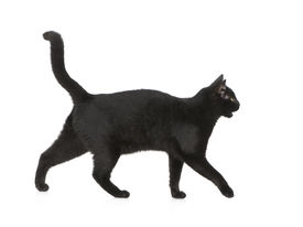 picture of black cat  - Black cat in front of a white background - JPG