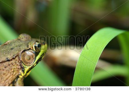 Watching Frog