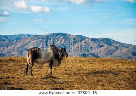 A Lone Cow in the Desert