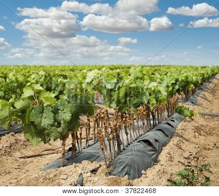 Young Vineyards In Rows.