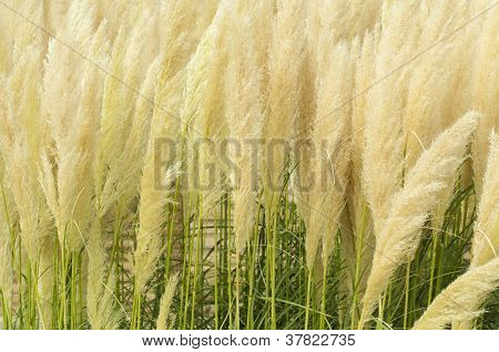 Crema Color Fluffy Plants