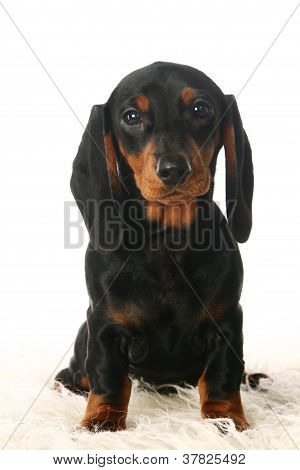 Sad dachshund puppy