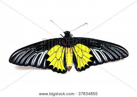 Silver Birdwing (Troides plato)
