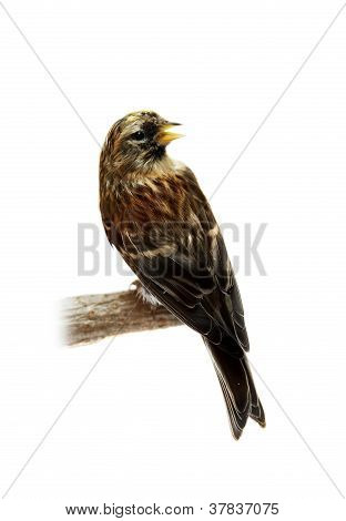 The female of The Common Redpoll