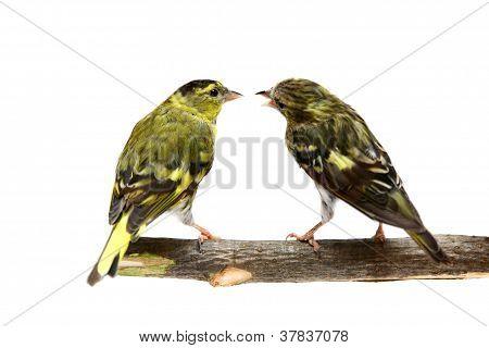 The pair of Eurasian Siskin