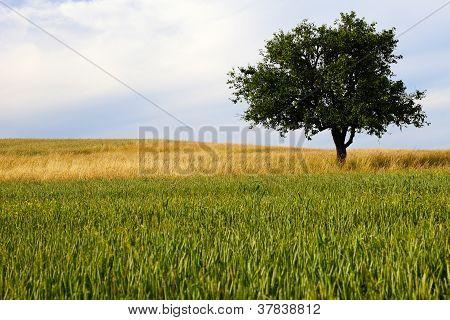 Lonely Apple Tree