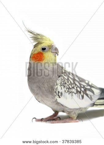 Cockatiel parakeet