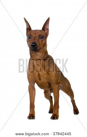 The dwarfish pinscher costs.