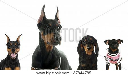 Different breeds of a black dogs