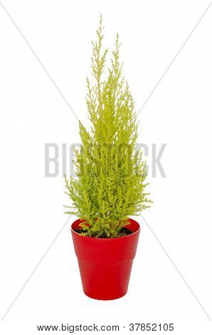 green fir in a red pot isolated